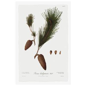 Pine Tree Halepensis