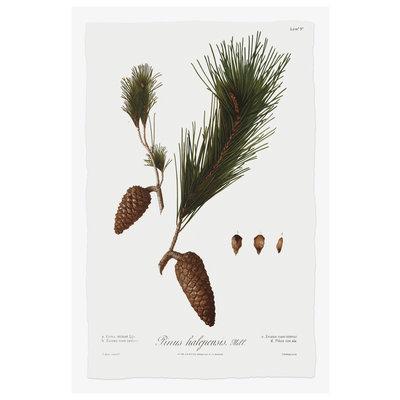 Print on Paper US250 - Pine Tree Halepensis Botanical Series 3