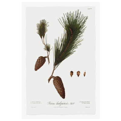 The Picturalist Framed Print on Rag Paper: Pine Tree Halepensis Botanical Series 3