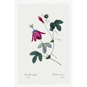 Framed Print on Rag Paper Passiflora