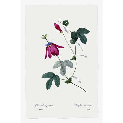 Framed Print on Rag Paper: Passiflora by P.J. Redoute