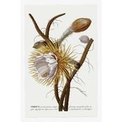 The Picturalist Framed Print on Rag Paper: Cereus Botanical Print