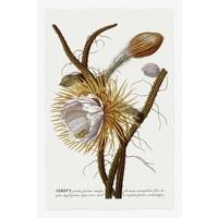 Framed Print on Rag Paper: Cereus