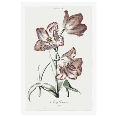 The Picturalist Framed Print on Rag Paper: Kaiser Leopold Tulip Botanical Print