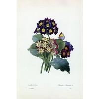 Framed Print on Rag Paper: Primula Auricula