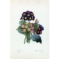 The Picturalist Framed Print on Rag Paper: Primula Auricula