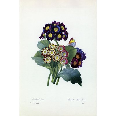 Framed Print on Rag Paper: Primula Auricula Botanicals by Pierre Joseph Redoute