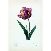 Framed Print on Rag Paper: Tulipa Culta Botanicals by Pierre Joseph Redoute