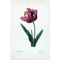 Framed Print on Rag Paper: Tulipa Culta