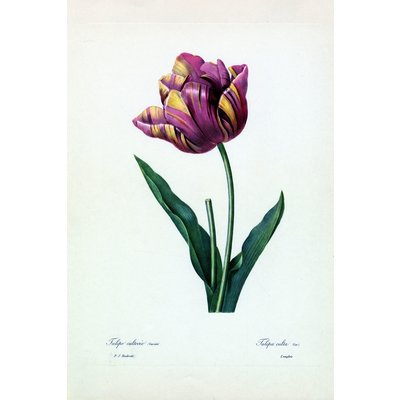 The Picturalist Framed Print on Rag Paper: Tulipa Culta Botanicals by Pierre Joseph Redoute