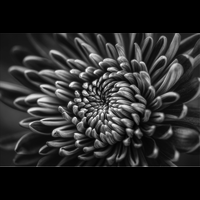 The Picturalist Framed Facemount Metal: Silver Dahlia Print on Metal