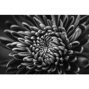 The Picturalist Facemount Metal: Silver Dahlia Print on Metal