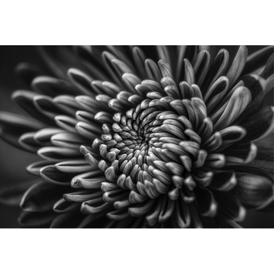 The Picturalist Facemount Metal: Silver Dahlia by C. Quintero Print on Metal