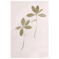 Framed Print on Rag Paper: Lilium Martagon Green Leaves on Pink Background