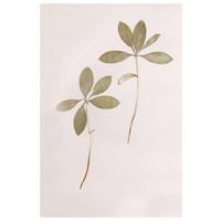 Lilium Martagon Green Leaves on Pink Background