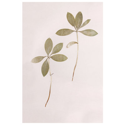 Framed Print on Rag Paper: Lilium Martagon Green Leaves on Pink Background