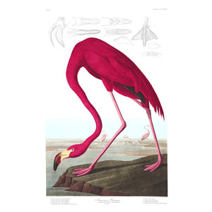 Framed Print on Rag Paper: American Flamingo
