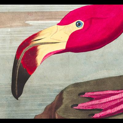 Framed Print on Rag Paper: American Flamingo by John James Audubon