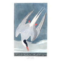 The Picturalist Framed Print on Rag Paper: Artic Tern
