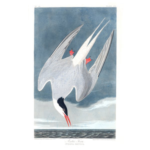 Framed Print on Rag Paper: Artic Tern