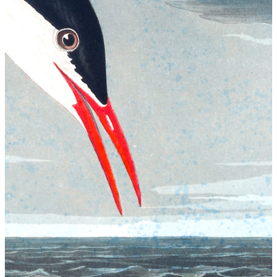 The Picturalist Framed Print on Rag Paper: Artic Tern by John James Audubon