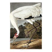 Framed Print on Rag Paper: Hooping Crane by John James Audubon