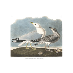 Framed Print on Rag Paper: Common American Gull