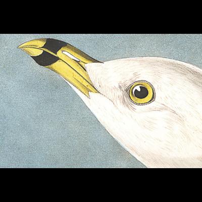 Framed Print on Rag Paper: Common American Gull by John James Audubon