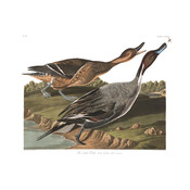 Framed Print on Rag Paper: Pin Tailed Duck by John James Audubon