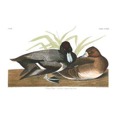Framed Print on Rag Paper: Scaup Duck by John James Audubon