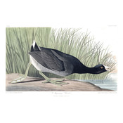 Framed Print on Rag Paper: American Coot by John James Audubon