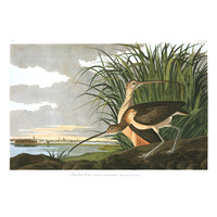 The Picturalist Framed Print on Rag Paper: Long Billed Curlew