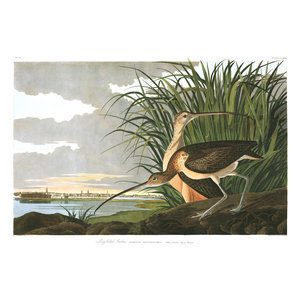 Framed Print on Rag Paper: Long Billed Curlew