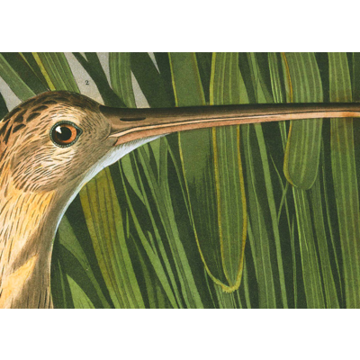 The Picturalist Framed Print on Rag Paper: Long Billed Curlew by John James Audubon