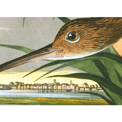 Framed Print on Rag Paper: Long Billed Curlew by John James Audubon