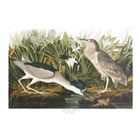 Framed Print on Rag Paper: Night Heron