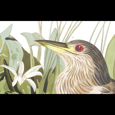 Framed Print on Rag Paper: Night Heron by John James Audubon