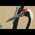 Framed Print on Rag Paper: Cranes from Momoyogusa by Kamisaka Sekka