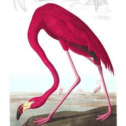 Audubon Birds of America