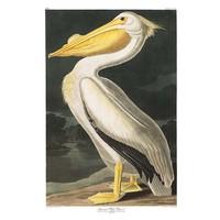 Framed Print on Rag Paper: American White Pelican