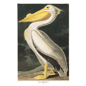 Framed Print on Rag Paper: American White Pelican