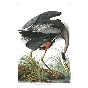 Framed Print on Rag Paper: Great Blue Heron