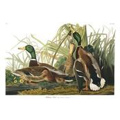 Framed Print on Rag Paper: Mallard Duck by John James Audubon