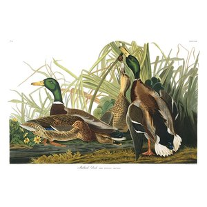 Framed Print on Rag Paper: Mallard Duck
