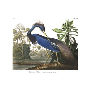Framed Print on Rag Paper: Louisiana Heron