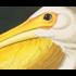 Framed Print on Rag Paper: American White Pelican by John James Audubon
