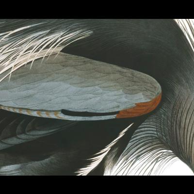 Framed Print on Rag Paper: Great Blue Heron by John James Audubon