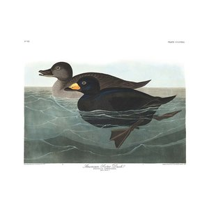 Framed Print on Rag Paper: American Scoter Duck