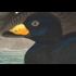 Framed Print on Rag Paper: American Scoter Duck by John James Audubon