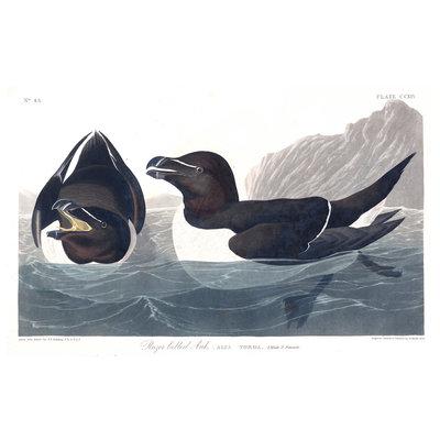The Picturalist Framed Print on Rag Paper: Razor Billed Auk by John James Audubon